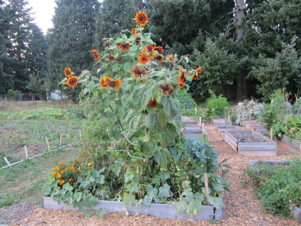 Sunflowers a center piece of this garden plot